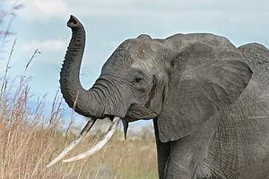 A female African Bush Elephant raises her trun...